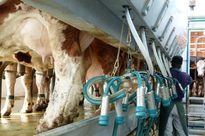 Die Kühe im Melkstand; Foto: Tina Brandl