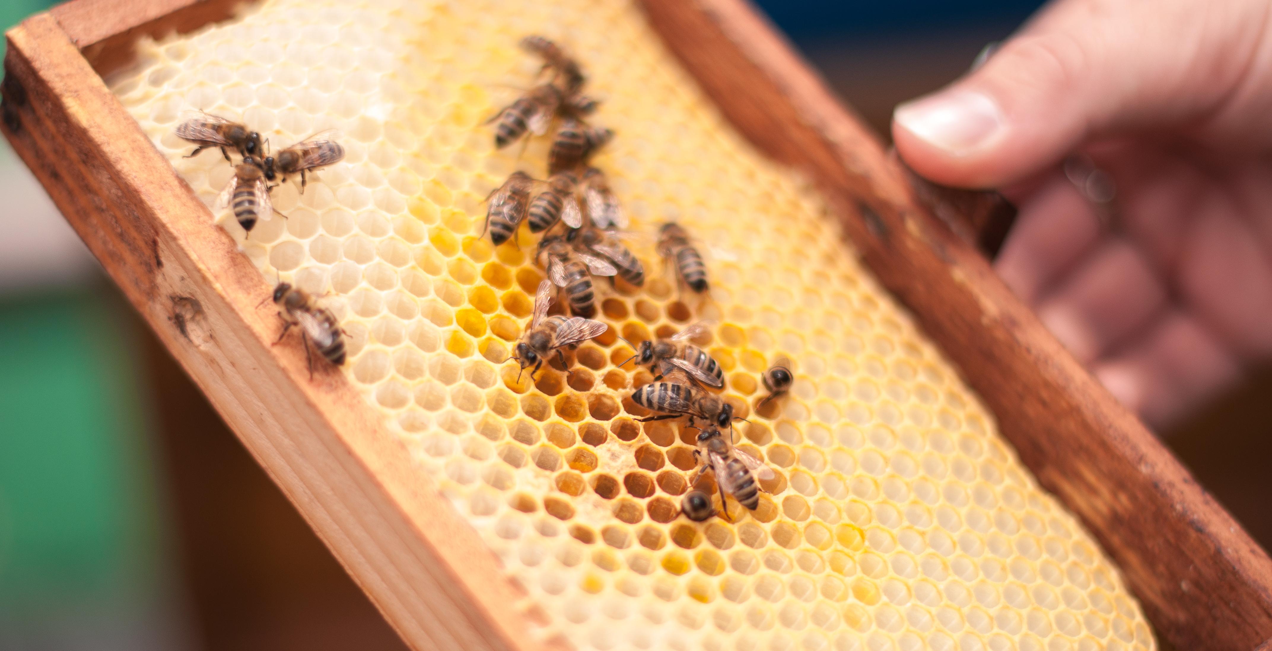 Wenige Bienen sitzen auf Waben