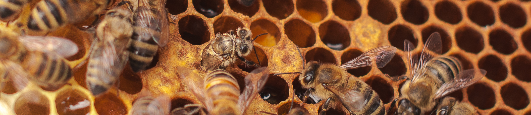 Eine Jungbiene schlüpft
